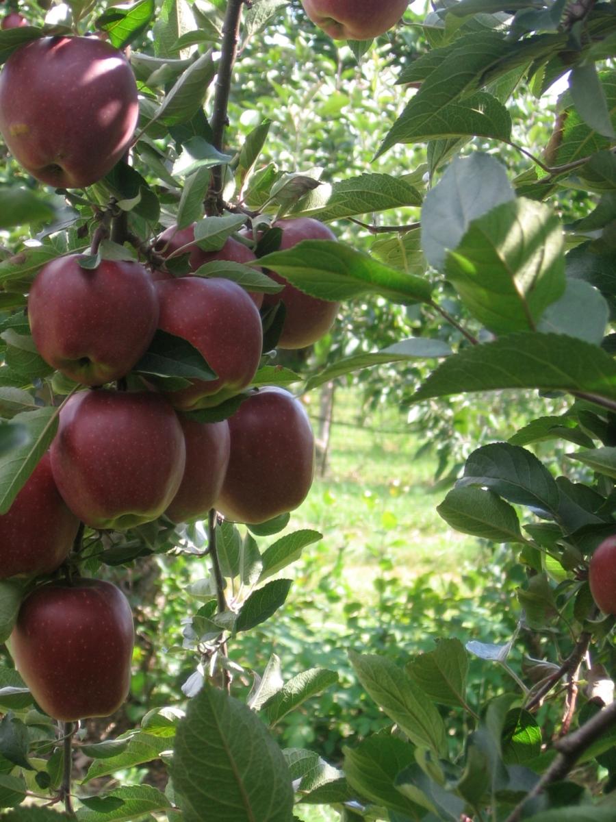 Autocueillette de pommes et de poires à Rougemont