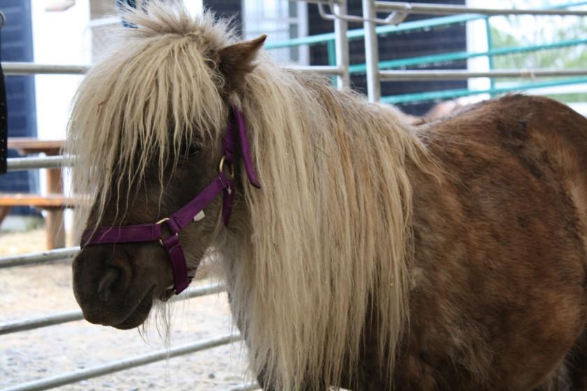 tomber en amour avec des chevaux miniatures famille au menu. Black Bedroom Furniture Sets. Home Design Ideas
