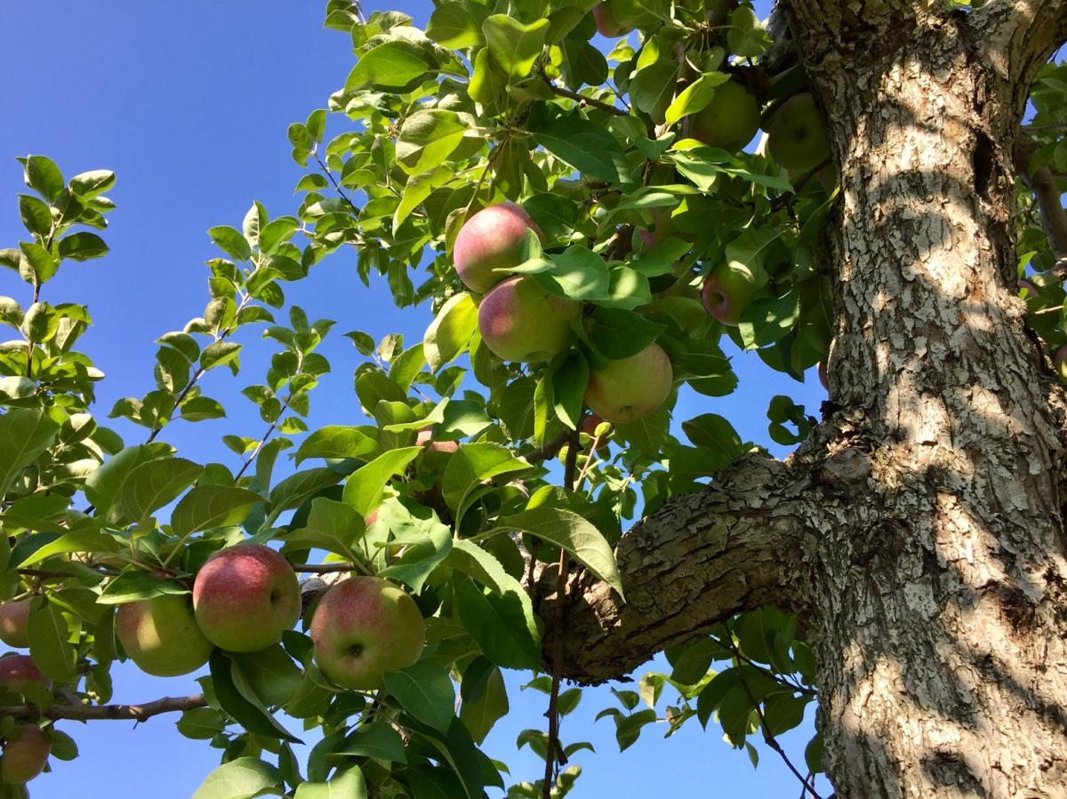 Aller cueillir des pommes... à Laval!